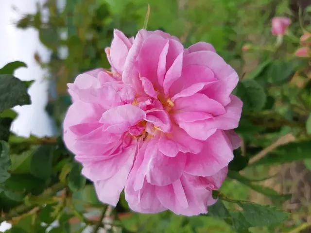 2019+0903_rose
